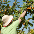 Loquat picker — Stock Photo