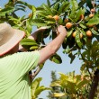 Stock Photo: Loquat picker