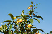 Loquat — Photo