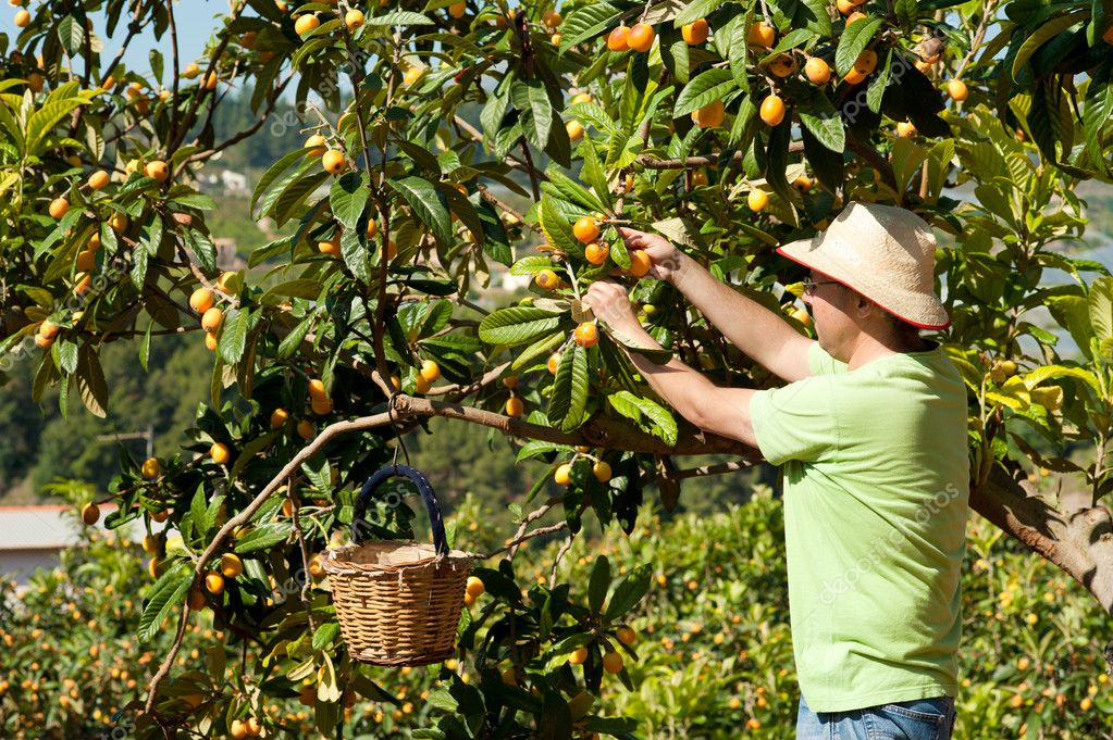 Agricultural worker during the loquat harvest season — Stock Photo #5672118
