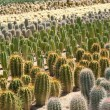Cactus farm — Stock Photo #5902711