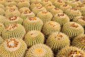 Cactus plantation — Stock Photo