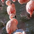 Pink flamingos - Stock Photo
