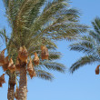 Stock Photo: Date palm trees with dates