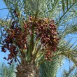 Date palm trees with dates — Stock Photo