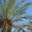 Date palm trees with dates — Stock Photo #6573841
