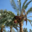 Date palm trees with dates — Stock Photo #6573846