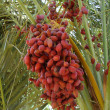 Date palm trees with dates — Stock Photo #6573858