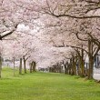 Stock Photo: Cherry Blossom Trees in Waterfront Park
