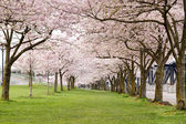 Cherry Blossom Trees in Waterfront Park — Stock Photo