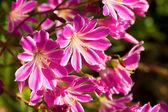 Fiori di Lewisia cotyledon — Foto Stock
