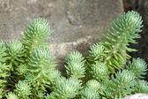 多肉植物生长的岩石 — 图库照片