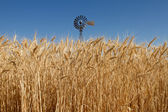 Wheat Grass in Farm Field with Windmill — Stock Photo