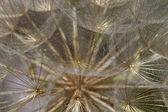 Dandelion Flower Seed Head Macro Closeup — Stock Photo