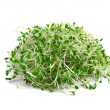 Alfalfa sprouts — Photo