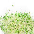 Alfalfa sprouts — Stock Photo