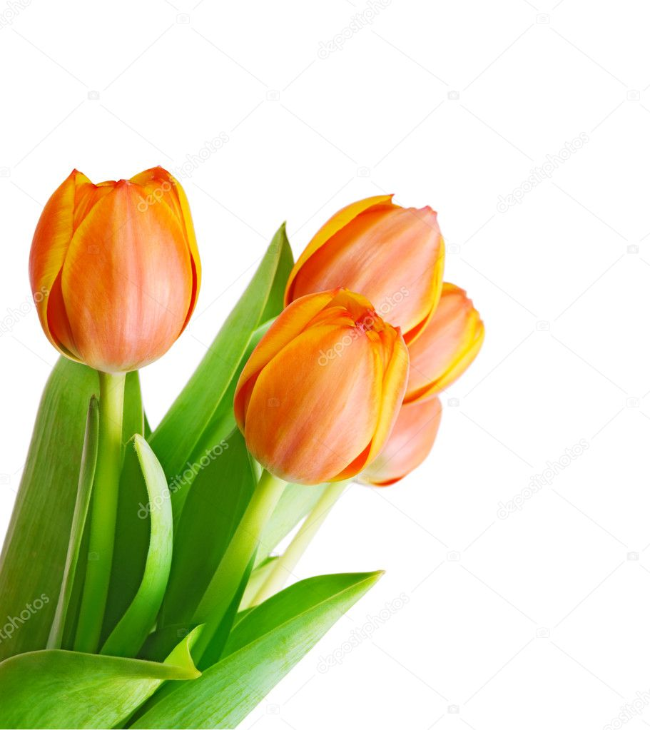 Beautiful orange tulips isolated on white background.Shallow focus — Stock Photo #6093905