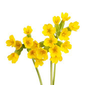 Cowslip flowers isolated on white — Photo