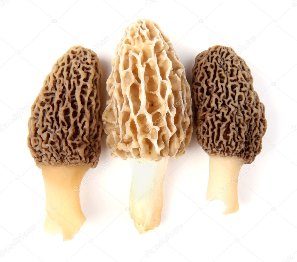 Group of one yellow and two gray morel mushrooms (Morchella esculenta) collected in a back yard in Indiana, USA, isolated against a white background  Lizenzfreies Foto #5642491
