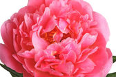 Pink peony close-up — Stock Photo