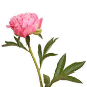 Pink peony flower and stem — Stock Photo