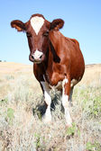 Cow without horns watch front — Stock Photo