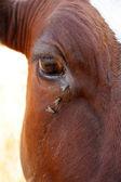 Mosca y ojo de vaca — Foto de Stock