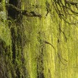 Abstract willow texture - Stock Photo