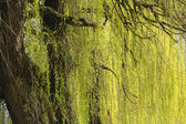 Abstract willow texture — Stock Photo