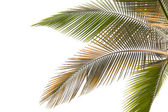 Withered and yellow palm Leaves — Stock Photo