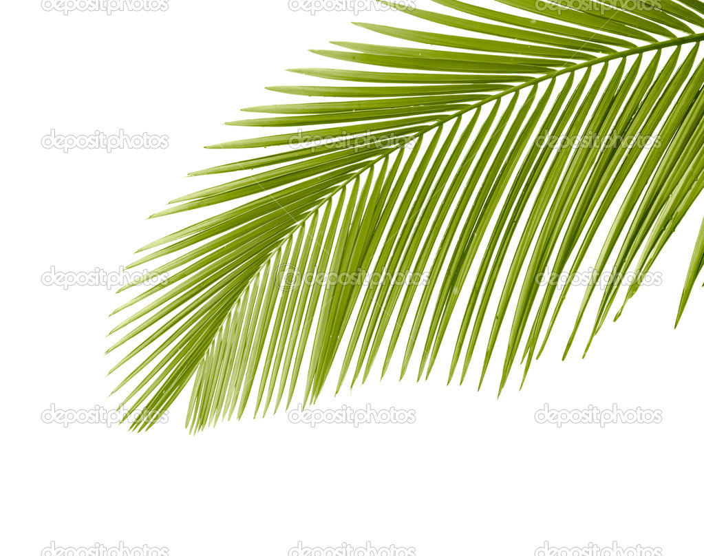 Part of palm leaf on white background — Stock Photo #5618078