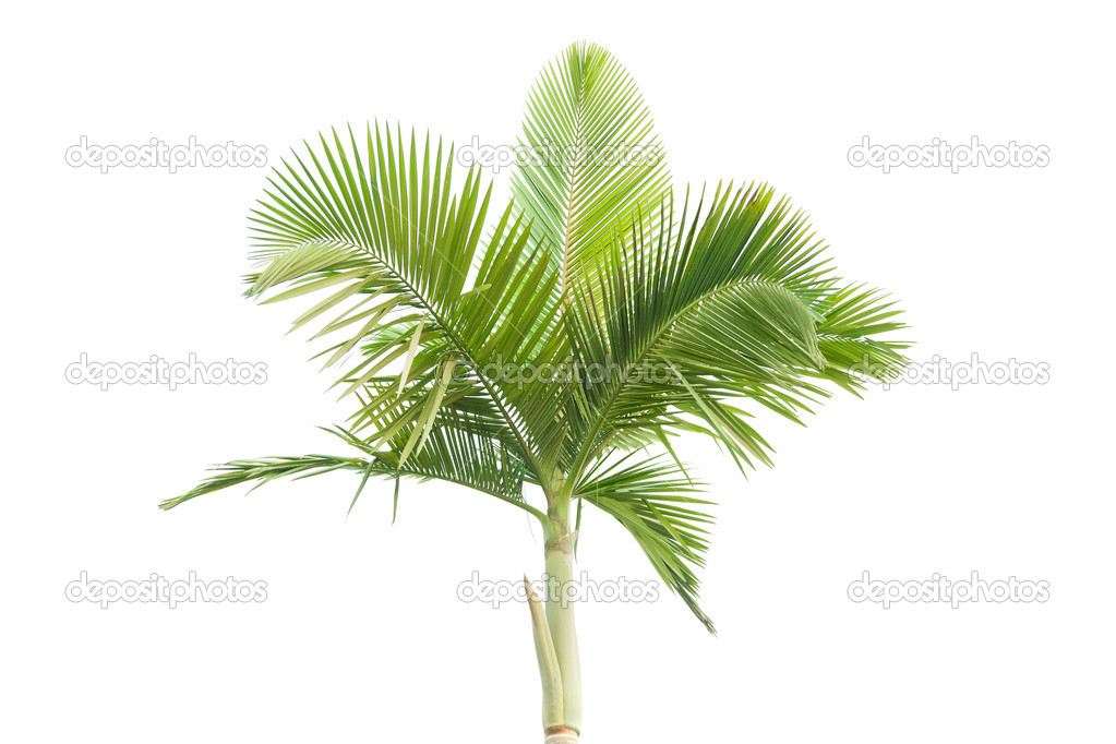 Palm tree isolated on white background  — Stock Photo #6175900