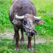 Domestic Asian water buffalo - Stock Photo