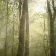 Stock Photo: Misty beech forest