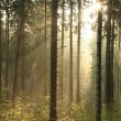 Misty coniferous forest at dawn — Stock Photo