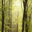 Spring beech forest at dawn — Stock Photo #5487706