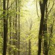 Spring beech forest at dawn - Stock Photo