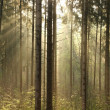 Misty coniferous forest at dawn - Stock Photo