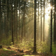 Misty coniferous forest at dawn — Stock Photo #5509518