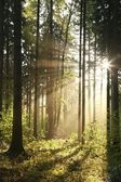 Coniferous forest on a spring morning — Stock Photo