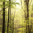 Spring beech forest at dawn — Stock Photo #5574226