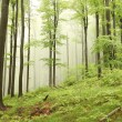 Spring beech forest in the fog — Stock Photo #5632776