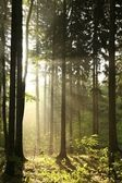 Coniferous forest on a spring morning — Stock fotografie