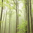 Spring beech forest in the fog — Stock Photo #5651857
