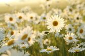 Daisy in a meadow — Stock Photo