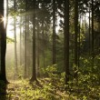 Misty coniferous forest at dawn — Stock Photo #5905978