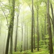 Spring beech forest in the fog — Stock Photo