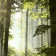 Stock Photo: Misty deciduous forest after rainfall