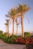 Early morning and palm-tree . Sunrise. Egypt — Stock Photo