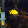 Aquarium Fish- Cichlid Hummingbird Yellow. — Stock Photo #6318848